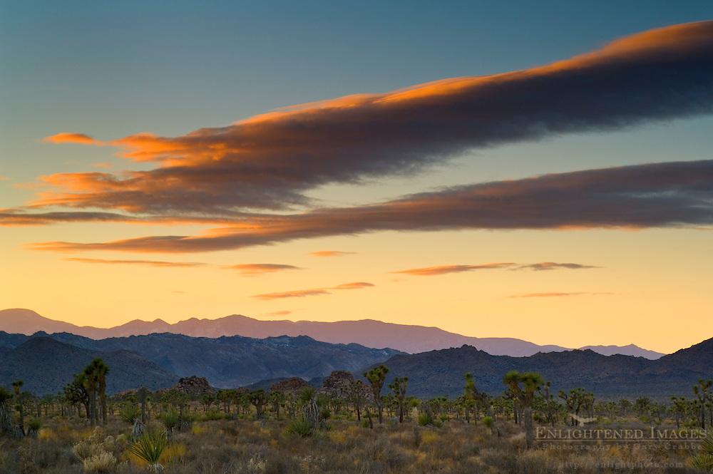 Sunset light on clouds over Joshua trees, near Quial Springs, Joshua Tree National Park, California