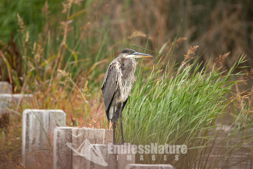 A Great Blue Heron rests on a post during a quick rain storm.