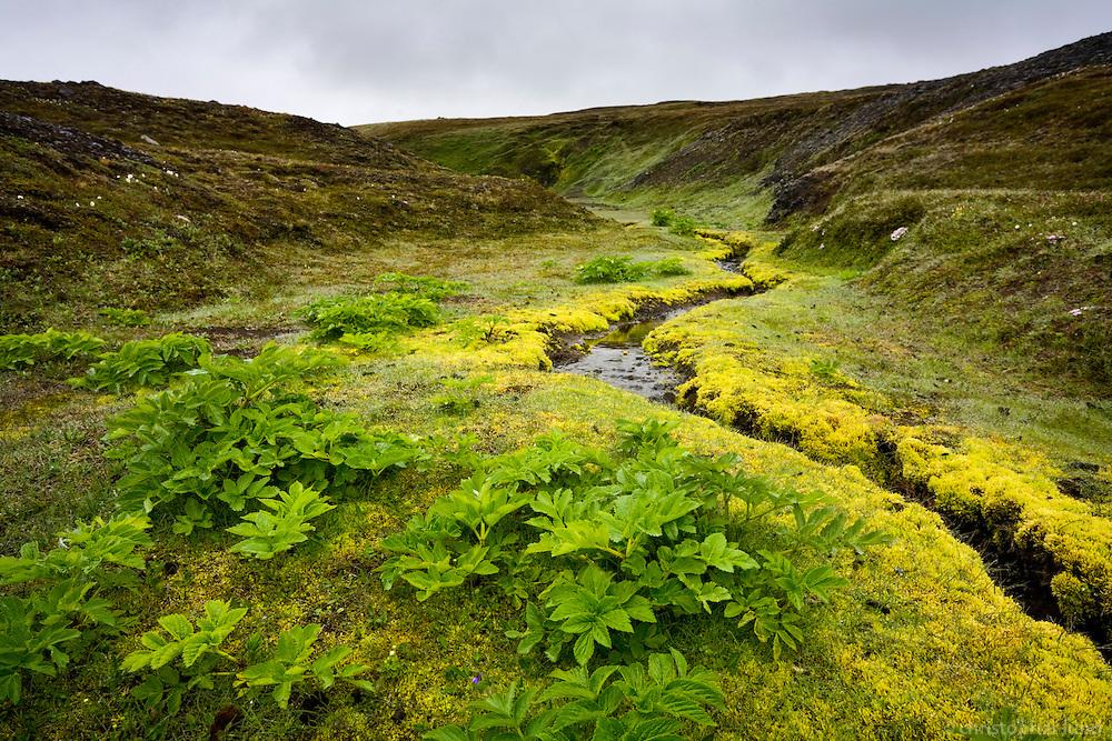 Angelica and moss by a small stream, Kringils&aacute;rrani, highlands of Iceland.<br /> <br /> Hv&ouml;nn og mosi vi&eth; l&aelig;k &aacute; Kringils&aacute;rrana.