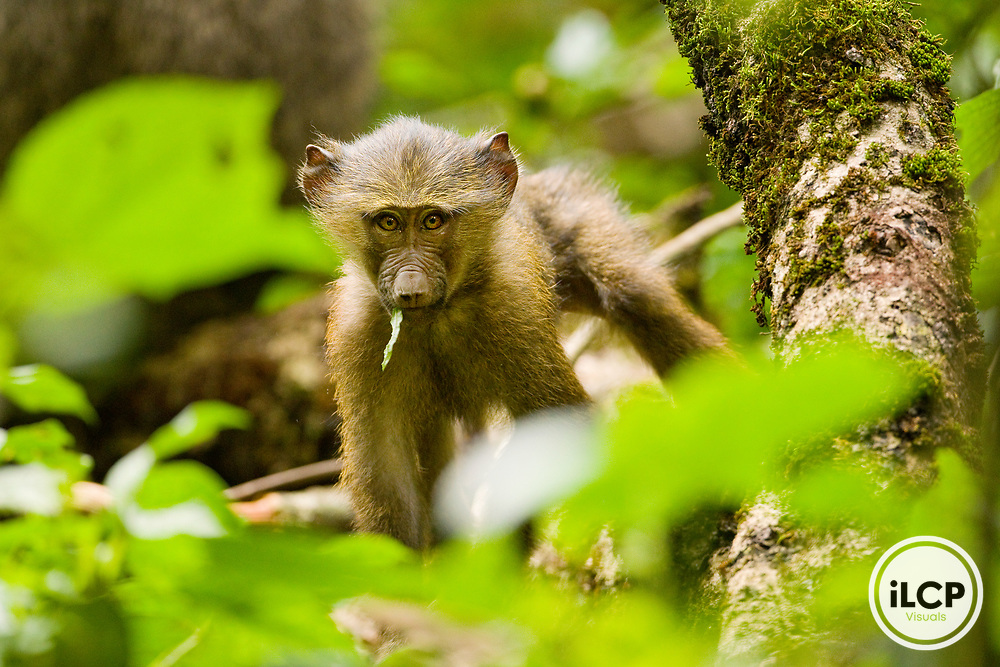 Olive Baboon (Papio anubis) young with leaf in its mouth, Kibale National Park, western Uganda