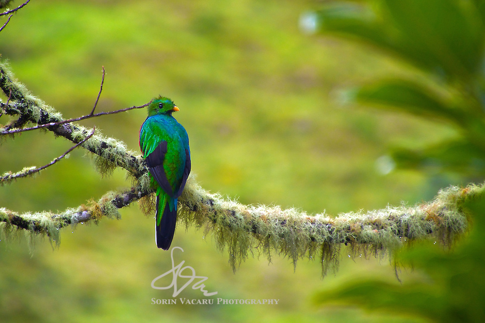 Male Resplendent Quetzal in an avocado tree, Rio Savegre Valley, Los Quetzales National Park, Costa Rica