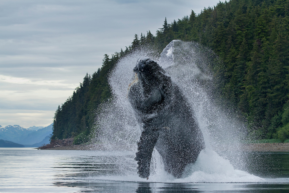USA, Alaska, Tongass National Forest, Humpback Whales (Megaptera novaengliae) breaches while feeding along Icy Strait on summer day