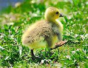 Sweet little baby gosling takes first steps at Argyle Pond in Babylon Village, Long Island New York