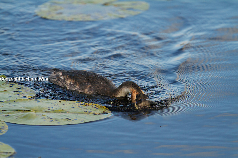 Adult great crested grebe searching underwater for fish on Decoy Lake, Shapwick Heath.