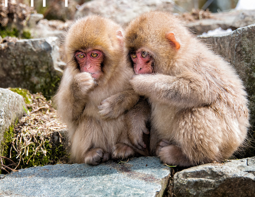 Pair of baby Snow Monkeys keeping warm while eating.