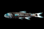 Lepidophanes guentheri, a species of the large group of lanternfish (or myctophid, family Myctophidae, 246 species, mykter = Greek for 'nose' and ophis for 'serpent') shows a pattern of paired light-producing cells (photophores) located along the ventral sides and at the head. They serve to mask the fish by counterillumination and are used in intraspecific communication (shoaling, courtship). This rather small deep sea fish species (adult approx. 8 cm) performs diurnal vertical migrations: during daylight hours it can be found at depths of > 400m, at night it ascends to < 100 m. Its habitat is therefore the mesopelagic (or twilight) zone. The widely distributed and numerous species of the family of lanternfish account for a great part of the overall biomass of deep sea fish: about  65%. As such they play an important ecological role as prey species for all kinds of larger marine vertebrates (fish, sea birds, marine mammals).