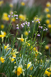 Wild daffodil with Lady's Smock (Cuckooflower). Narcissus pseudonarcissus with Cardamine pratensis