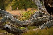 Coarse woody debris comes from natural tree mortality. Here fallen dead oak trees. Biosphere Reserve 'Niedersächsische Elbtalaue', Elbe valley, Germany | Totholz kommt von der natürlichen Baumsterblichkeit. Hier sind es alte Eichen. Niedersächsische Elbtalaue, Deutschland