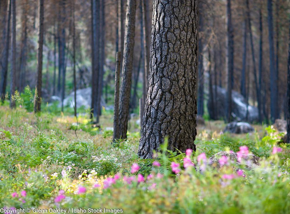 Burned ponderosa pines, Salmon River, Frank Church River of No Return Wilderness, Idaho