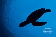 Grand Cayman - A hawksbill turtle is seen in silhouette as it descends after taking a breath on the surface Armchair Reef.
