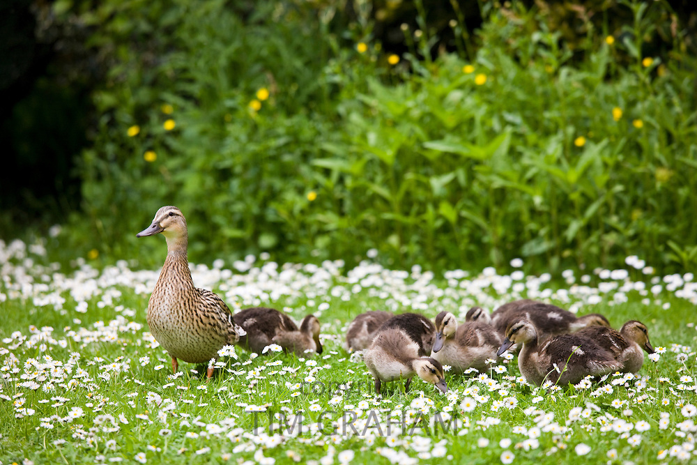 Mallard duck with ducklings among daisies in The Cotswolds, Oxfordshire, England, United Kingdom