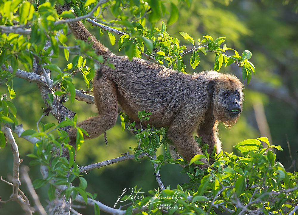Black Howler Monkey (Alouatta caraya) female,  The Pantanal, Mato Grosso, Brazil