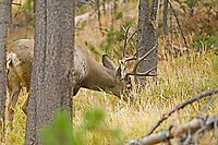 A Mule Deer buck feeds up a hillside of pine trees.