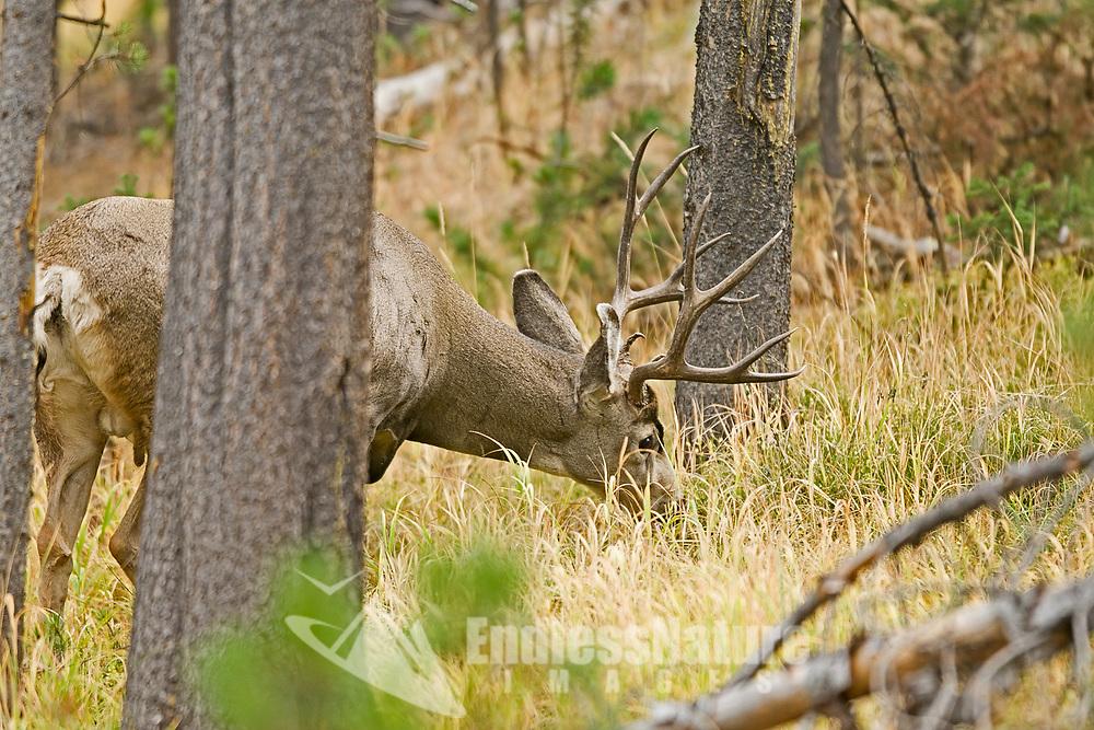 A Mule Deer buck feeds up a hillside of pine trees.