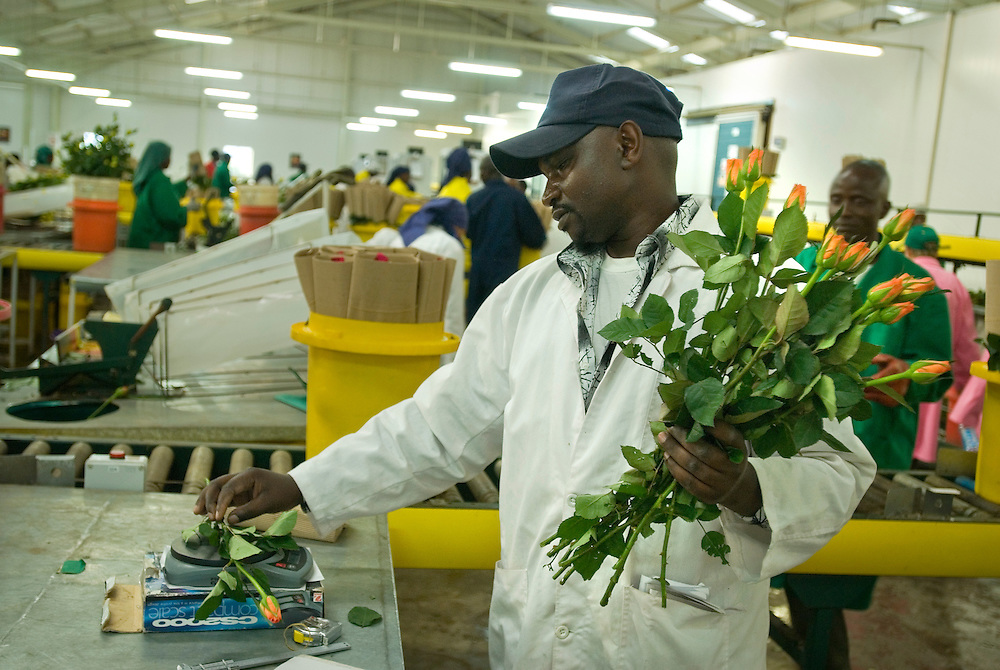 Kenya. Lake Naivasha. Sainsbury's employees take a tour round the Oserian Farm, the biggest of it's type in Africa. Sainsbury's gets its Fair Trade flowers from this farm..Photo shows workers in the packhouse. .