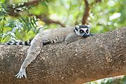 Ring-tailed Lemur<br /> Lemur catta<br /> Male resting<br /> Berenty Private Reserve, Madagascar