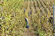 Nederland, Groesbeek, 11-9-2018 Vrijwilligers bezig met de druivenoogst van dit seizoen. Bij wijnhoeve de Colonjes, met 13 ha. een van de grootste van het land, gaat kwaliteit boven kwantiteit. De oogst is dit jaar vroeg vanwege het warme en droge weer. De druiven zijn van hoge kwaliteit . Het dorp Groesbeek afficheert zichzelf als het wijndorp van Nederland omdat er de jaarlijkse wijnfeesten zijn en verschillende boeren druiven verbouwen, zoals biologische wijngaard de Colonjes . De oogst dit jaar is goed, met een hoog suikergehalte . Foto: Flip Franssen