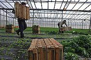 Nettuno (Roma), 04/01/2011: Azienda agricola che utilizza bracciantato indiano di religione Sikh originario del Punjab - Farm using Indian Sikh laborers native of Punjab