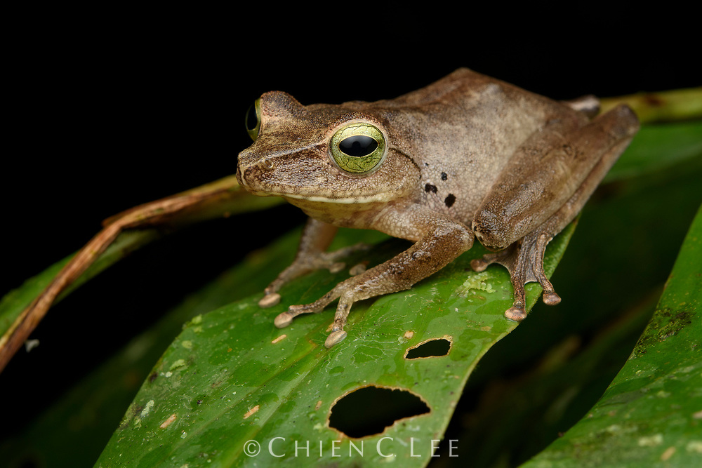 Distinguished by its green/yellow eyes, Hose's Bush Frog (Philautus hosii) is endemic to Borneo and considered Near Threatened due to severe habitat loss. Adults are usually found perched on vegetation over streams in lowland rainforest. Sarawak, Malaysia.