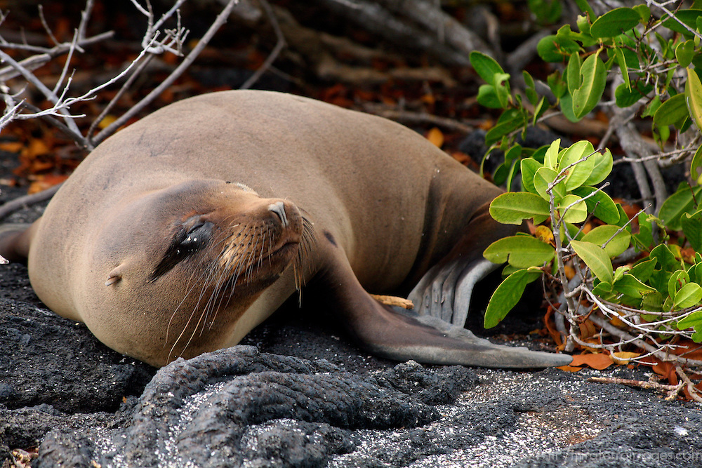 South America, Ecuador, Galapagos Islands. Galapagos Sea Lion on Fernandina Island.