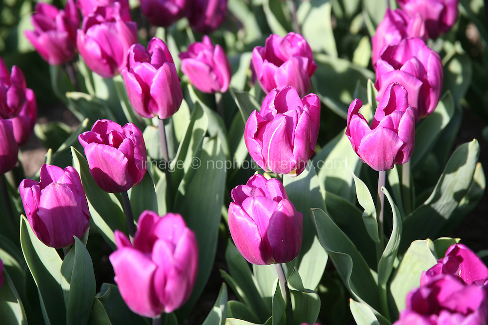 Pink tulips growing in a field