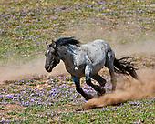 Wild Horses, Pryor Mountains