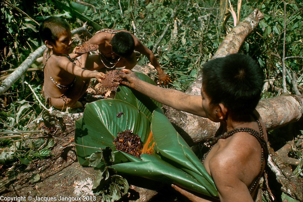 Subsistence activity: use of natural products: honey collecting from beehive in felled tree in rainforest by Hoti (Hodi) Indians in Guiana Highlands of Venezuela, South America. A hole is carved in the felled trunk; the honey is squeezed in a calabash, and the other parts of the beehive are wrapped in a leaf of a plant of the Marantaceae family.