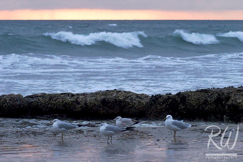California Gulls in Tide Pool, Crystal Cove State Park, California