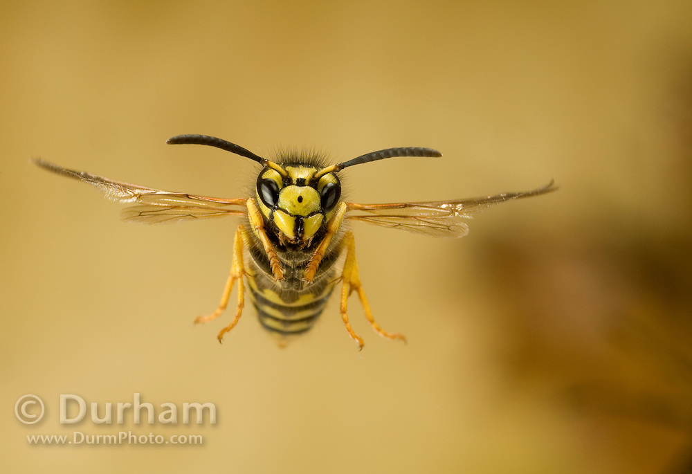 A yellowjacket (Vespula sp) in flight, western Oregon. photographed with a high-speed camera.