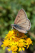 Lycaena e. editha - Edith's Copper
