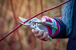 Using secateurs to prune a Cornus sanguinea - Dogwood