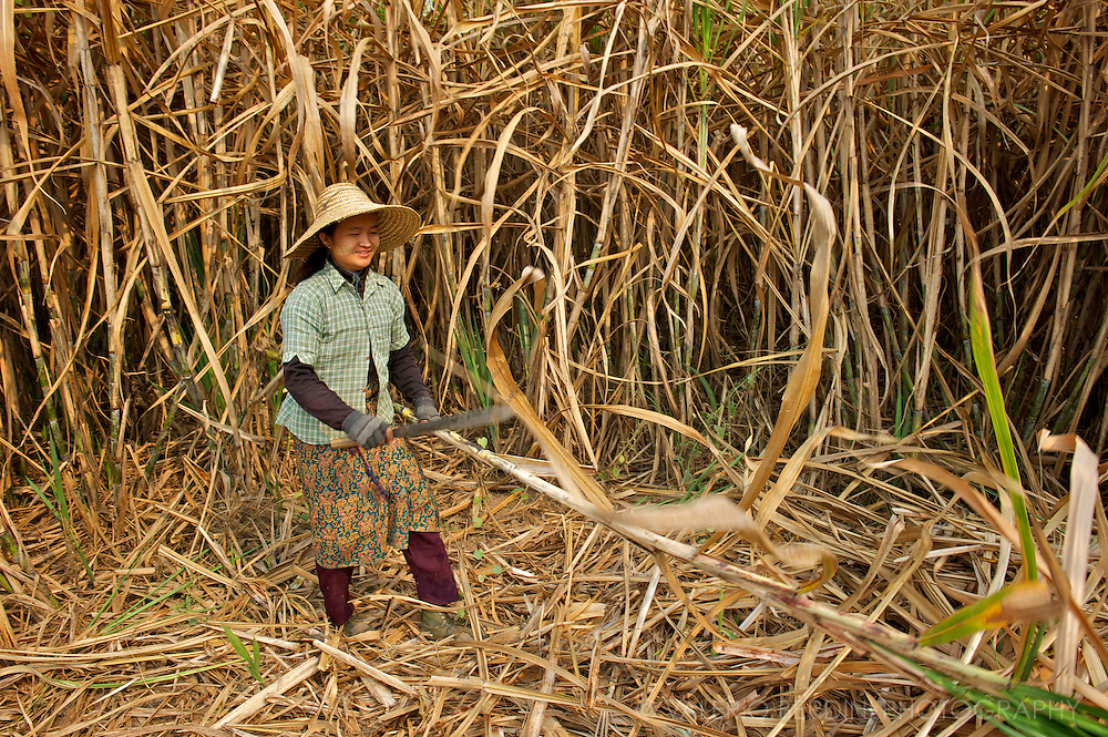 Woman in a sugarcane plantation ready to be harvested. She cut the tough canes with a sharp machete.