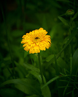 Yellow Wildflower. Image taken with a Nikon D850 camera and 105 mm f/1.4 lens