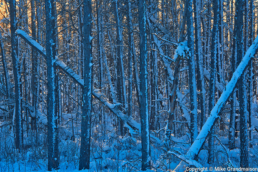 Trees covered in snow at sunset<br />Sandilands Provincial Forest<br />Manitoba<br />Canada