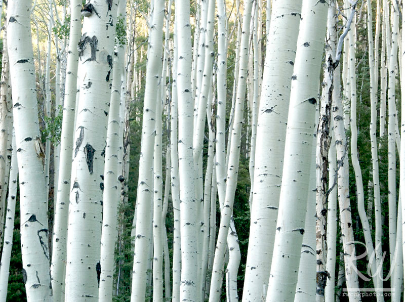 Aspen Trees in Forest, Coconino National Forest, Arizona