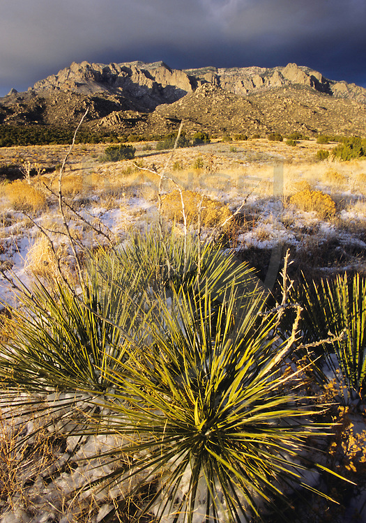 nature scenery and travel destinations: sandia mountain desert meadow landscape with yucca bushes and some snow at sunset, sandia mountains, albuquerque, new mexico, vertical