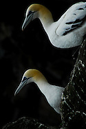 Gannets of Noss Island, Shetland Islands