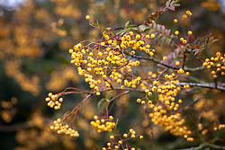 The berries of Sorbus 'Joseph Rock' - Mountain ash.