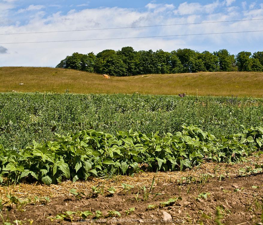 A row of bush green beans growing in straw mulch on an organic farm under a blue summer sky..