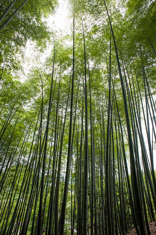 Bamboo forest in Arashayima (Kyoto, Japan)