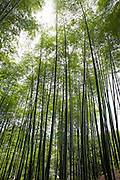 Bamboo forest in Arashayima (Kyoto, Japan)