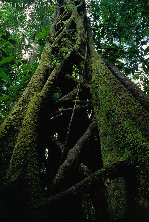 Moss-covered roots of the Strangler fig tree (Ficus caulocarpa), which surround its host in what appears to be scaffolding.
