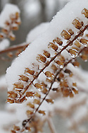 Branch covered with tiny dried flowers is encased in snow at St. Louis County's Queeny Park in Saint Louis, Missouri.