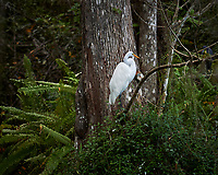 Great Egret in Big Cypress Swamp. Image taken with a Nikon Df camera and 70-200 mm f4 lens (ISO 250, 200 mm, f/4, 1/400 sec).