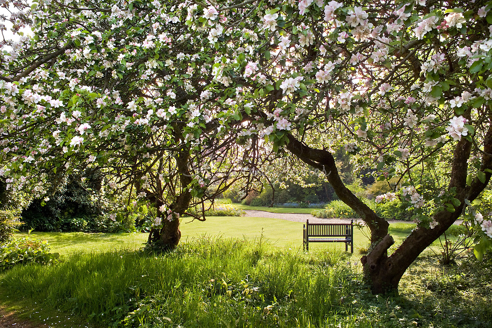 Flowering apple trees at Denmans Garden, Chichester, Sussex