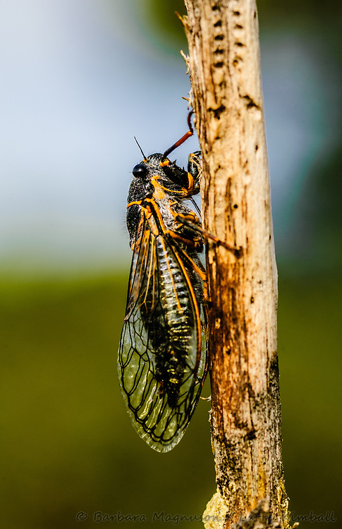 Putnam's Cicada [Platypedia putnami] annual cicada newly emerged, makes clicking sound with wings; Red Canyon Park, Fremont County, Colorado