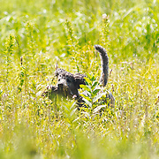 Photography was made during the 2018 Cocker Spaniel Hunting Enthusiasts of SE WI Hunt Test, on July 29, 2018.  The test took place at Mazomanie Unit LowerWI State Riverway, in Mazomanie, WI. Beautiful warm summer days.