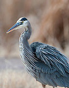 A Great Blue Heron at Bosque del Apache NWR, New Mexico