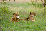 Kenya, Lake Nakuru National Park, two Lioness waiting in the grass, February 2007