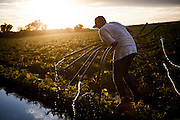 Luis Gasca picks up irrigation piping in tomato fields in Davis, California, June 26, 2014.